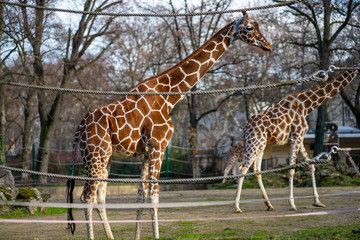 Two giraffes in Frankfurt Zoo