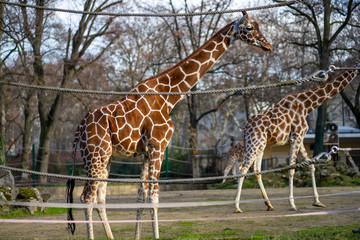 Two giraffes in Frankfurt Zoo