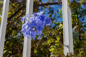 Beautiful blue flowers look out of garden fence in South Africa