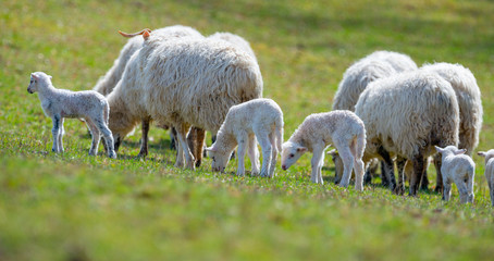 Fototapete - sheep and lambs on a spring meadow