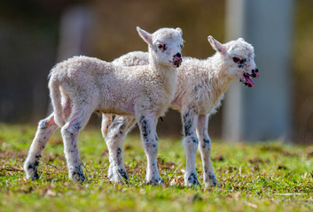 Fototapete - cute newborn lambs on a meadow