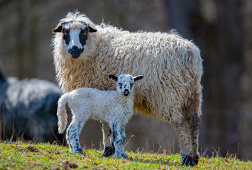 Fototapete - cute newborn lamb with its mother