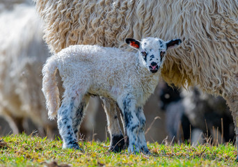 Fototapete - cute newborn lamb close up