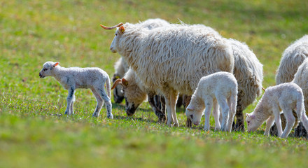 Fototapete - a flock of seep with lambs o a meadow