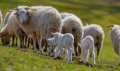 Fototapete - sheep with newborn lambs