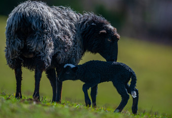 Fototapete - black sheep with newborn lamb close up