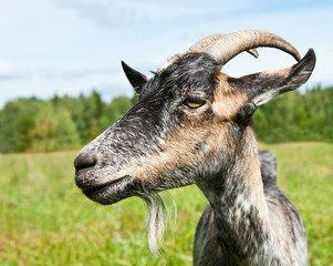Fototapete - grey goat in profile near a forest, close-up