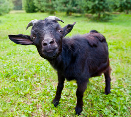 Fototapete - Young black goat on green grass