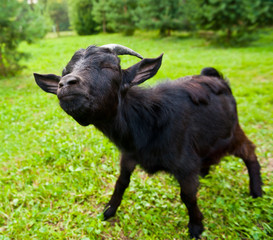 Fototapete - Young black goat on green grass, screwing up his eyes