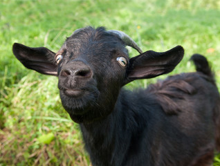 Fototapete - Young funny black goat on green grass