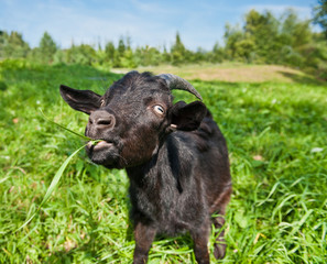 Fototapete - Young black goat grazing on green grass