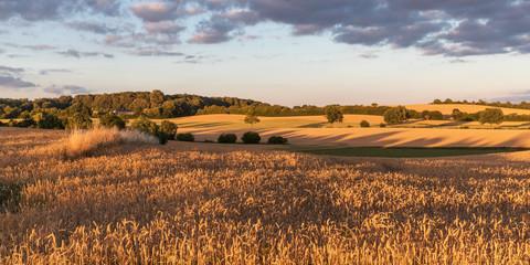 Weizenfeld im Abendlicht bei Malente in der Holsteinischen Schweiz, Schleswig-Holstein