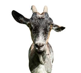 Fototapete - grey goat, isolated on white background