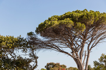 Big African tree in Cape Town, South Africa
