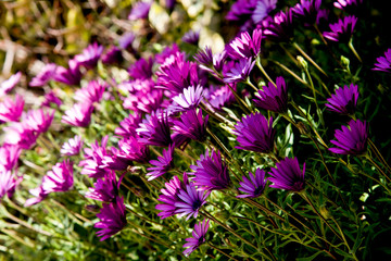 corner's garden with purple daisies in spring