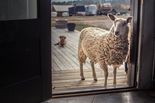 Sheep standing in doorway