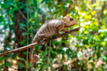 wild panther chameleon (furcifer pardalis), a species of chameleon endemic of Madagascar  and found often in tropical forest