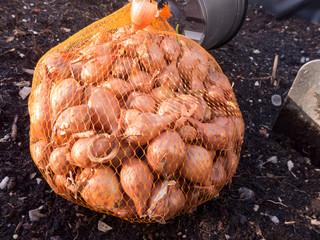 Die Zwiebeln werden gleich ins Hochbeet gepflanzt. Diese Steckzwiebel heißen Stuttgarter Riesen.