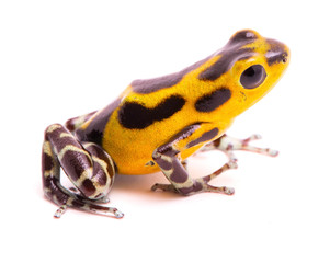 Poison dart frog, an amphibain with vibrant yelllow. Tropical poisonous rain forest animal, Oophaga pumilio isolated on a white background.