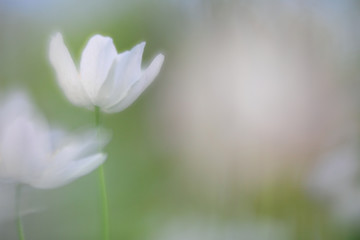 Spirit of a wood anemone