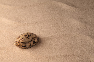 shellfish on sandy beach of tropical island. Exotic seashell on rippled sand. Background with copy space.