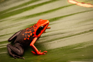 Orange poison dart frog, Ameerega silverstonei.  A tropical rain forest animal from the Amazon jungle in Peru.