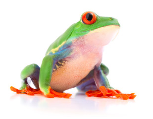 Red eyed tree frog a tropical animal from the endangered rain forest in Costa Rica siolated on white..