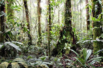 Tropical Amazon rain forest Colombia. Lush reen jungle vegetation with giant trees vines fern and moss