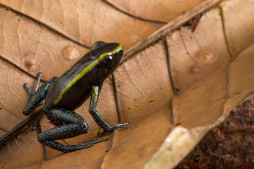 poison dart frog, Phyllobates aurotaenia. A small very poisonous animal from the rain forest in Choco Colombia.