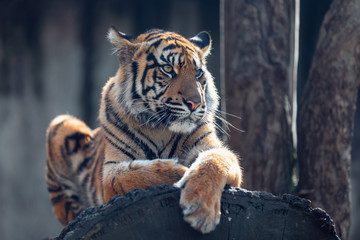 Sumatran tiger (Panthera tigris sumatrae) is a rare tiger subspecies that inhabits the Indonesian island of Sumatra