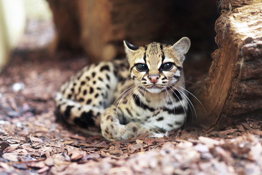 The margay (Leopardus wiedii) is a small wild cat native to Central and South America. A solitary and nocturnal cat, lives mainly in primary evergreen and deciduous forest.