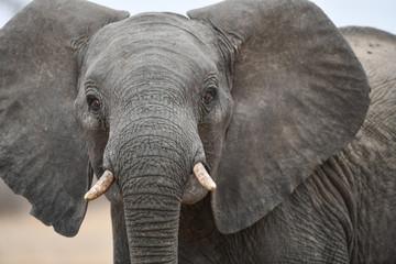Elefant(en)