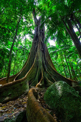 Beautiful big fig tree with huge root system in rainforest