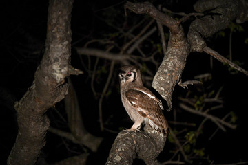 Grosse Adler Eule