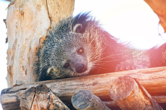 Bearcat or arctictis binturong lying sleeping relax on the wooden log in summer day