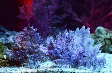 Weedy scorpionfish swimming fish tank underwater aquarium