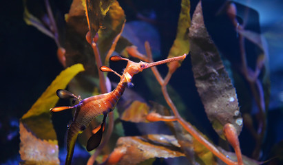 Sea dragon seahorse swimming underwater ocean