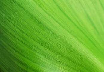 texture of green leaf Wall mural