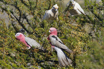 Amiable flock of rose and gray Galahs