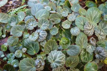 Saxifraga stolonifera maroon beauty green plant