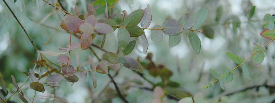 Eucaliptus globulus tree foliage outdoors. Round and long leaves on branches.