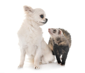 brown ferret and chihuahua
