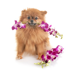 pomeranian and orchid
