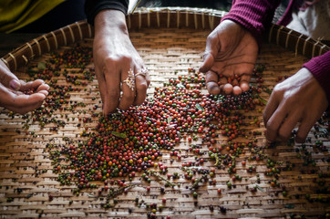 farm workers sorting fresh pepper peppercorns in kampot cambodia Wall mural