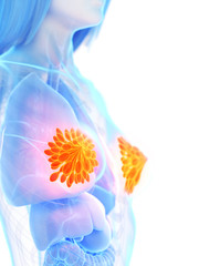 3d rendered medically accurate illustration of the mammary glands