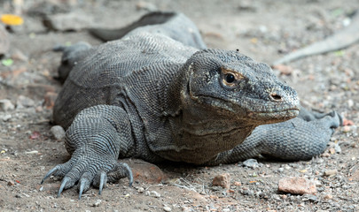The Komodo dragon. Front view, close up. Scientific name: Varanus komodoensis. Indonesia.