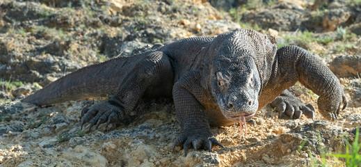 The Komodo dragon. Front view. Scientific name: Varanus komodoensis. Indonesia.