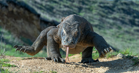 Komodo dragon  with the  forked tongue sniff air. Close up. The Komodo dragon, scientific name: Varanus komodoensis. Indonesia.