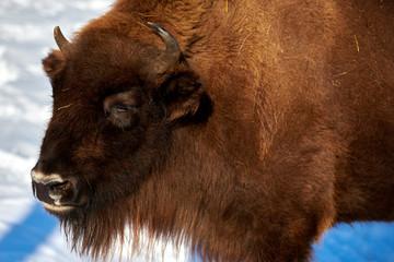 Fototapeta European Bison, Wisent, European Wood Bison, herbivore in winter, Bison bonasus, Romania, Europe