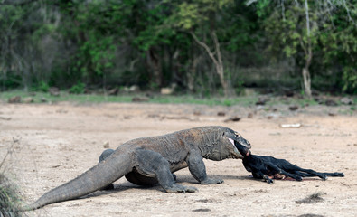 The dragon attacks. The Komodo dragon attacks the prey. The Komodo dragon, scientific name: Varanus komodoensis. Indonesia.